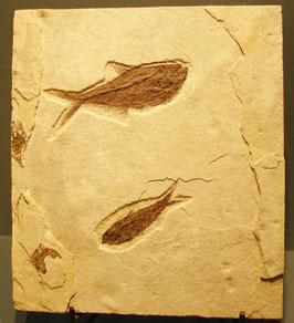 green river fossil fish plaque