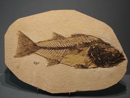 fossil fish knightia wyoming