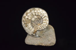 Asteroceras sp  ammonite fossil