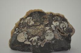 Promicroceras marstonense Ammonite