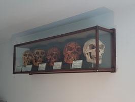 Evolution of the skull. Five Human skull REPLICAS