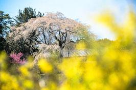2015年3月リリース 桜のポストカード8枚セット
