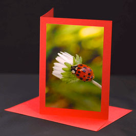 glückschäferli  auf Gänseblume auf roter c6 karte