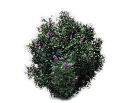 Silhouette/MiniNatur Flieder lila dunkel, Sommer, 0 - 1:45+, 10-12 cm, 350-17