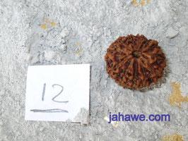 12 Augen Rudraksha aus Indonesien 1,7 cm breite