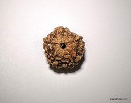 Rudrakshas 5 Augen 19 - 20 mm groß aus Nepal, feine Qualität  lose