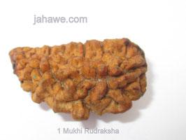Ein  Augen Rudraksha 3cm länge
