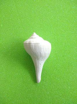 versteinerte Rechtshandshank aus Florida 5,5 cm