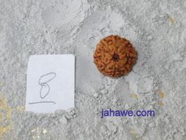 8 Augen, 8 Gesichter, 8 Mukhi  Rudraksha, Rudrakshas für Ihr Wohlbefindens