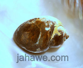 Heera Shank  2 für Glück und Reichtum mit einer schwarzen Achtmala 108 Perlen , und einer Schildkröte