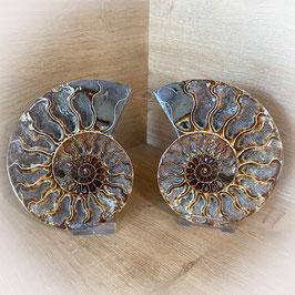 Ammoniten Paar