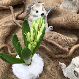 Hyazinthe mit Wolle