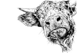Cow limited edition print. Ink pen and digital painting (2016). Available in ink and colour or a black and white ink version.
