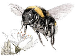 Bee above Blackthorn limited edition print. Ink pen and digital painting.