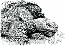 Giant Tortoise limited edition print. Ink pen (2016)