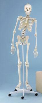 Skelett Hugo