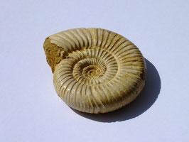 Ammonite blanche brute