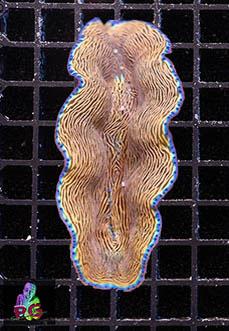 Tridacna Derasa 5-7 cm