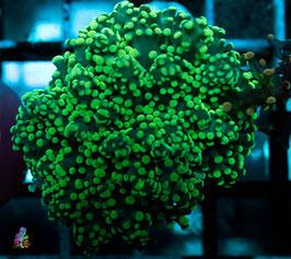 pg  Euphyllia Paradivisa BSP Bild