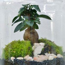 Dôme  Ficus