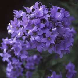 "Dolden-Glockenblume ""Prichard's Variety"""