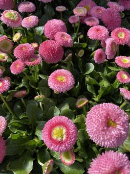 Bellis rosa Topfdurchmesser 9cm