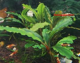 Bucephalandra 'Dark velvet'