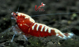 Galaxy fishbone red (low grade)