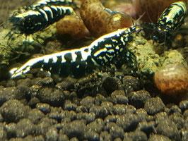 Galaxy fishbone black (10 garnalen)