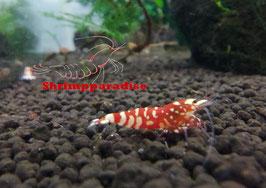 Fancy tiger red (10 garnalen)