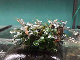 Bucephalandra 'Brownie Helena'