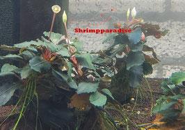 Bucephalandra 'theia blue green'