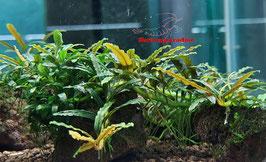Bucephalandra 'mini catherina dark'