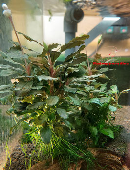 Bucephalandra 'Red'