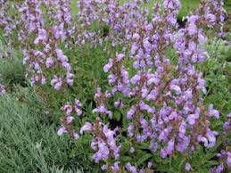 有機薰衣鼠尾草精油 Organic Sage Lavender Essential Oil