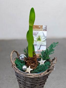 Amaryllis weihnachtlich