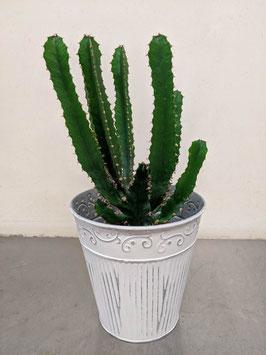 Kaktus, Euphorbia