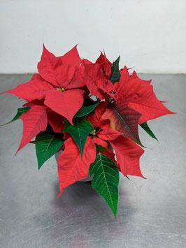 Weihnachts   stern rot