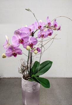 Orchidee- rosa