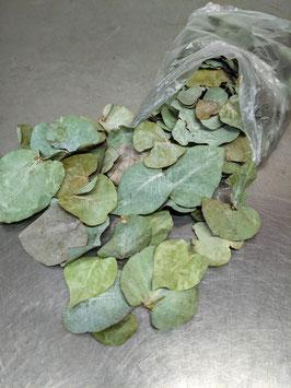 Eucalypthus Blätter