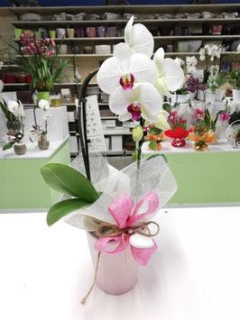 Orchidea ad archetto con vaso