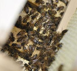 Bienenvolk oder Kunstschwarm