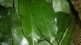 Compre 300 gramos de hojas verdes de guanábana