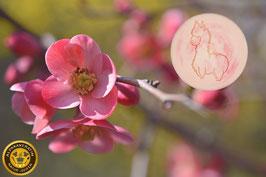 Kirschblüte - die Zarte