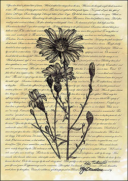 .Aster turbinellus Poster.