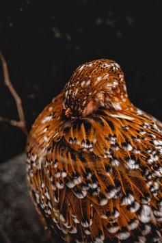 Kunstdruck // Serie: Hühnerliebe