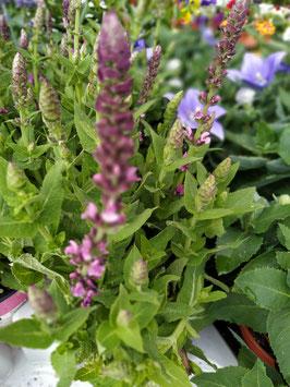 Salvia (pink)