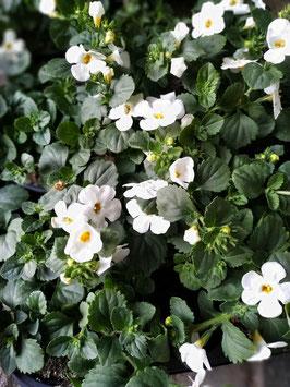 Schneeflockenblume weiß