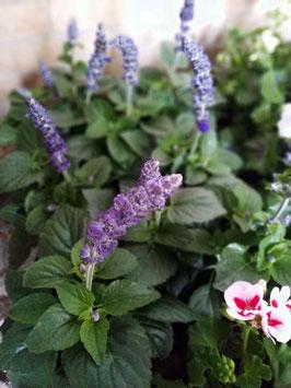 Salvia (lila) - Mehliger Salbei