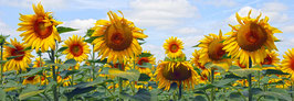 FRANCE - Tournesols